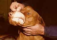 Patkányméreg hatása kutyára